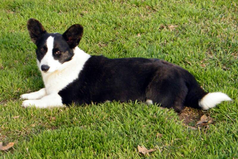 welsh corgi cardigan beauty